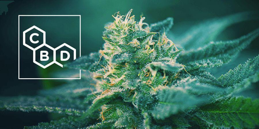 CBD-Rich-Cannabis-Strains